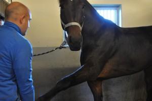 Chiropractor London Equine Chiropractic